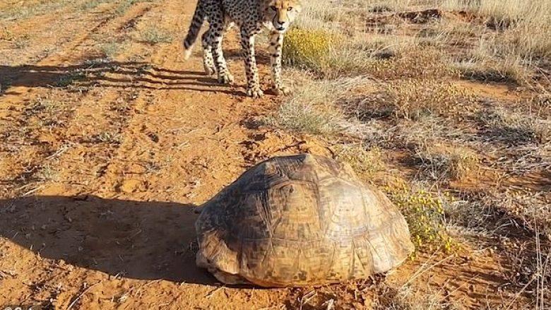 Breshka nën lëvozhgë hutoi getopardët, ikën të frikësuar pa ditur çfarë po ndodhë (Video)
