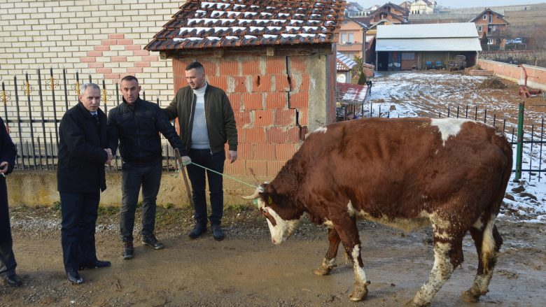 Filloi shpërndarja e 80 lopëve qumështore