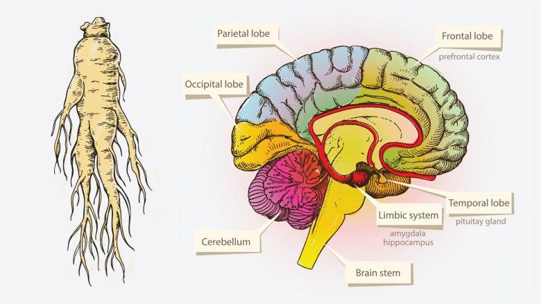 Shkenca i zbulon top shtatë përforcuesit e trurit