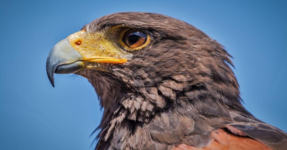 Shqiponja përfundoi në pjesën e përparme të veturës në lëvizje, u shpëtua pas një intervenimi të mundimshëm (Video)