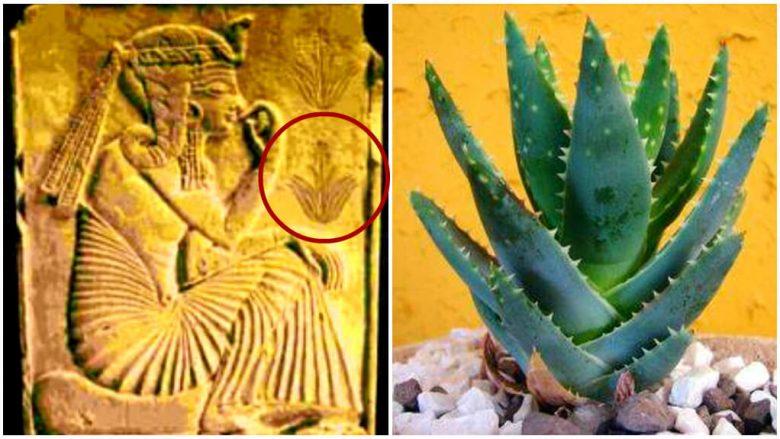 Egjiptianët e kanë quajtur 'bima e përjetësisë', shkenca i vërteton efektet shëruese të aloe veras