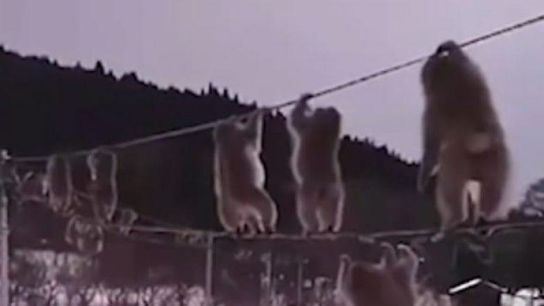 Ka shumë borë në tokë? Majmunët në Japoni kanë gjetur një mënyrë kreative për të udhëtuar! (Video)