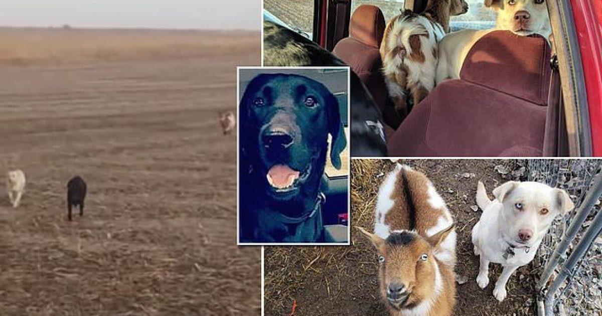 Menduan se kurrë më nuk do ta shohin, çifti amerikan habiten kur shohin qenin e tyre të shoqëruar nga një qen tjetër dhe një dhi (Video)