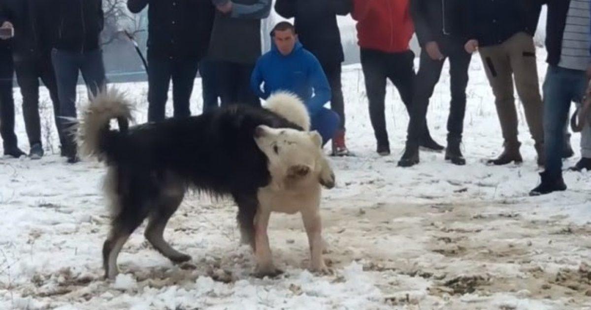 Njoftohet për një garë mes qenve në Viti, policia dhe komuna të gatshme ta parandalojnë