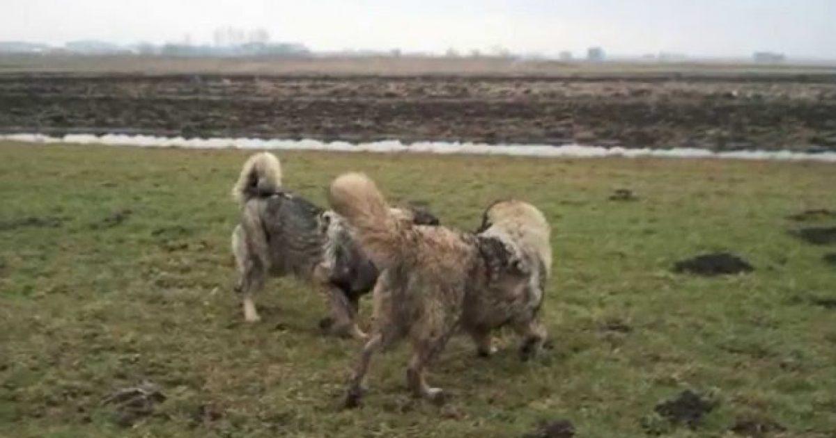 Peja dhe Gjakova nxjerrin urdhëresa kundër vrasjes dhe keqtrajtimit të qenve, përfshirë edhe garat mes tyre
