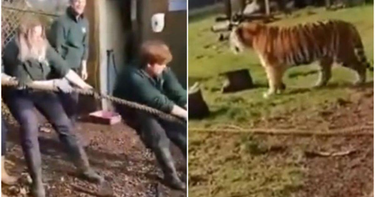 Për 15 funte vizitorët e kopshtit zoologjik në Britani, mund të luajnë lojën me litar me luanë dhe tigra (Video)