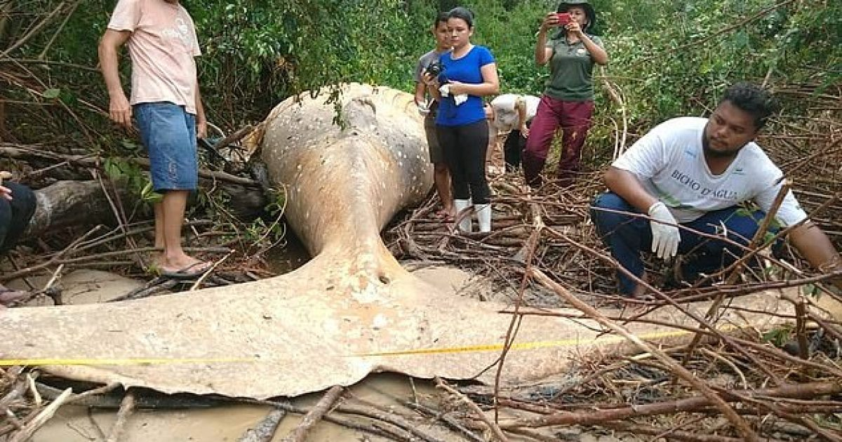 Balena misterioze e gjetur në xhungël, afro 15 metra larg bregut të detit (Video)