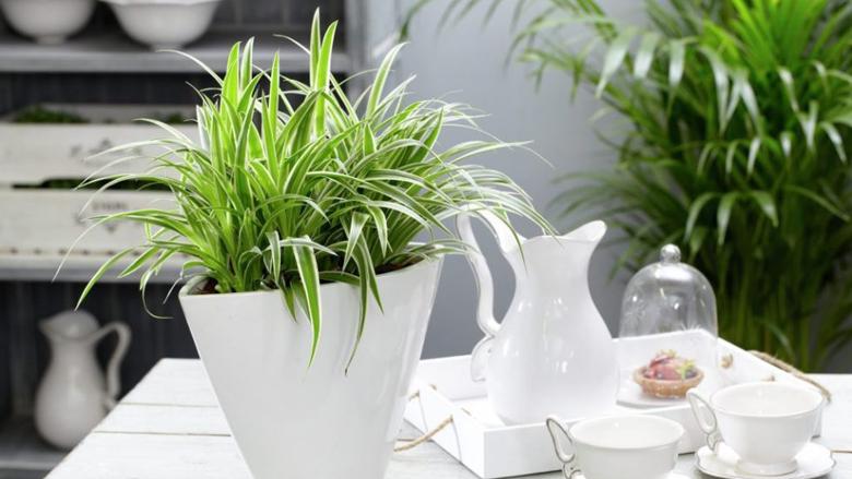 Këtë lule të dhomës patjetër duhet ta ketë çdo shtëpi: Pastron ajrin nga të gjitha ndotjet!