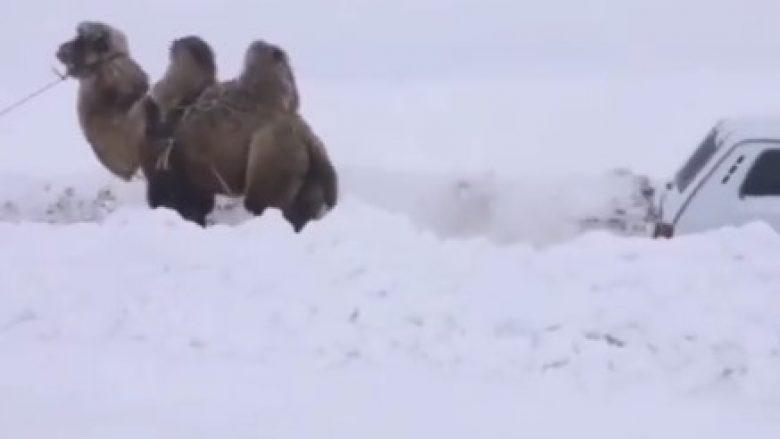 E rrallë: Deveja tërheq makinën, në mes të dimrit! (Video)