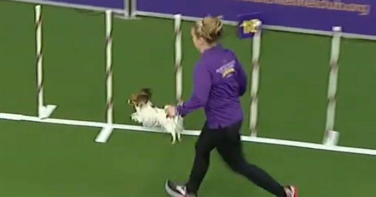 Shkathtësitë e mahnitshme të një qeni të vogël, kaloi shtegun e garës me shpejtësi enorme (Video)