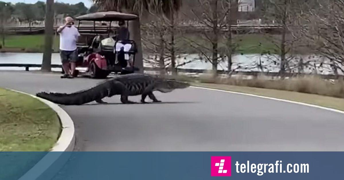 Aligatori katër metra shëtitet nëpër fushën e golfit në Florida (Video)