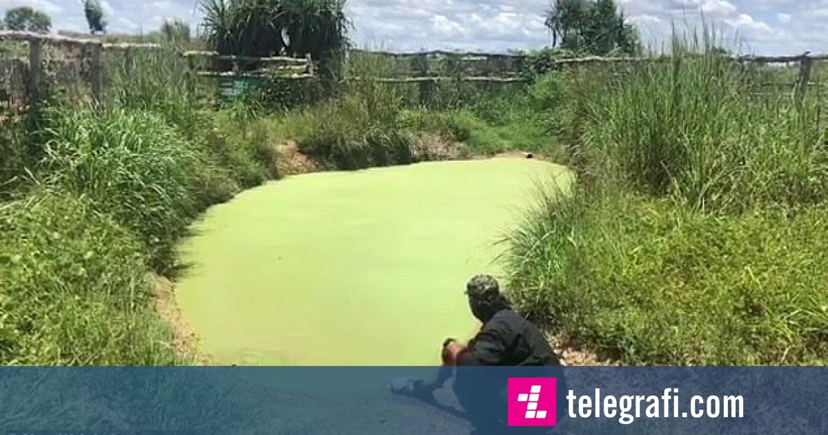 Aligatori i kamufluar në ujin e turbullt, tmerron me daljen e pa pritshme (Video)
