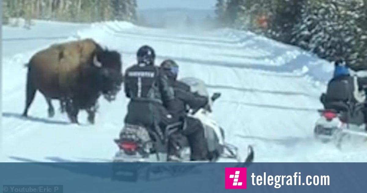 Ngasësit e makinave të borës përjetuan adrenalinë shtesë, kur u ndoqën nga një bizon gjigant (Video)
