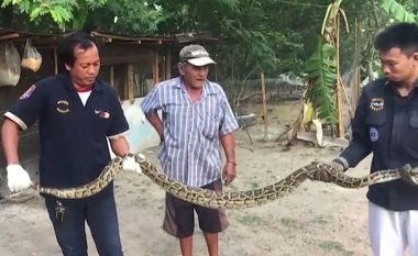 Detyrojnë pitonin katër metra ta vjell gjelin që e kishte gëlltitur (Video, +18)