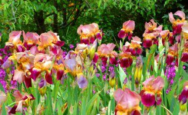 Katër lule helmuese të cilat vrasin me një fletë: Të bukura, por jashtëzakonisht vdekjeprurëse!
