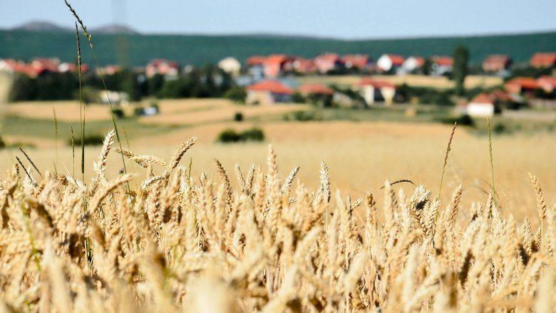 Përgjysmohet sipërfaqja e tokës së mbjellë me grurë