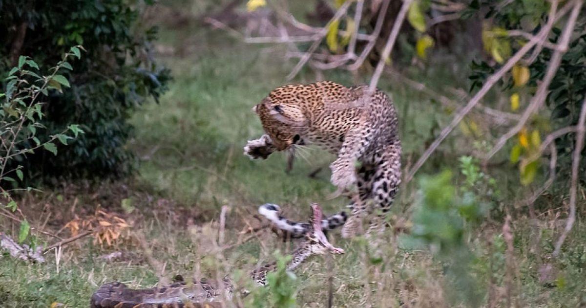 Photo of Pitoni dukej se po fitonte, mirëpo leopardi arriti ta mbërthejë – pastaj kafshoi kokën e gjarprit