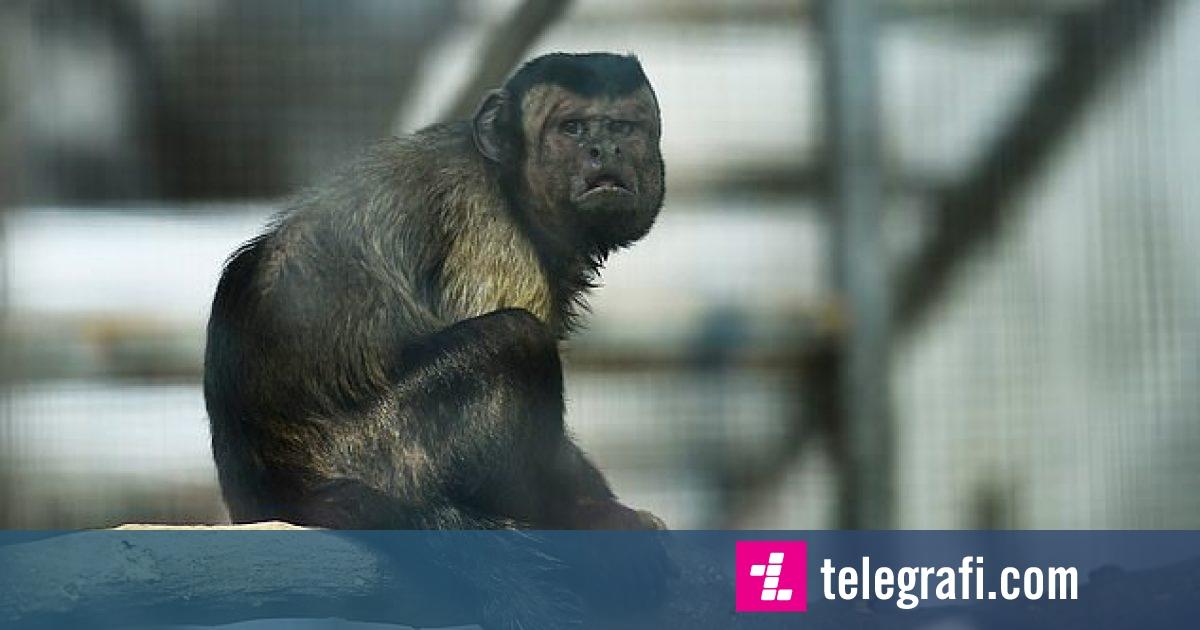 """Photo of Njihuni me majmunin që ka """"fytyrë njeriu"""", i cili po e ka problem t'a gjejë """"dashurinë e jetës"""""""