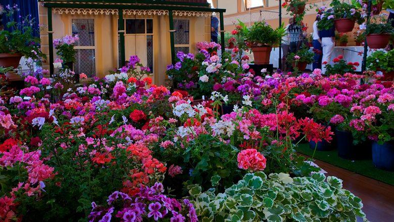 Barbaroza është simbol i rëndësishëm në shtëpi: Këtë lule të bukur e preferojnë amvisat