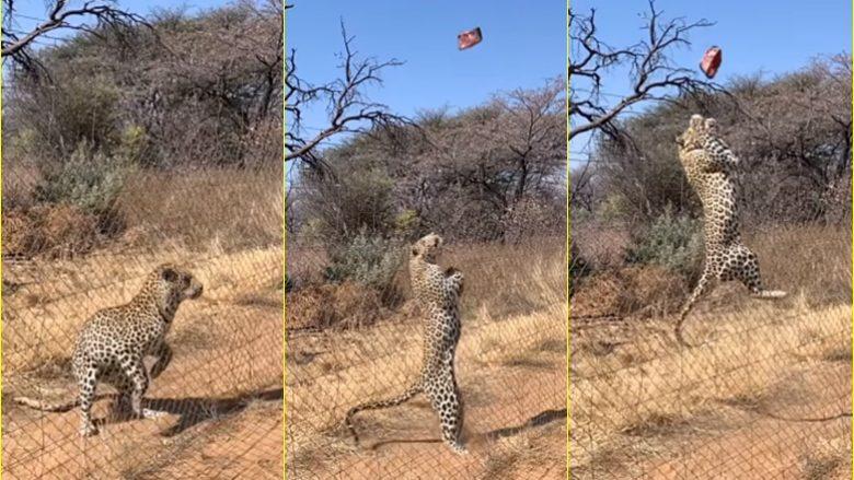 Kërcimi 'mahnitës' për një copë mishi i Leopardit – në një video me lëvizje të ngadaltë
